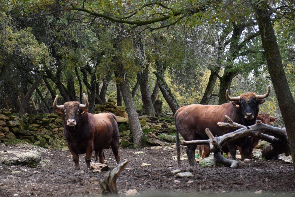 Reta de Casta Navarra lidiará el 18 Julio en Ceret